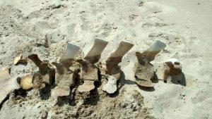 Dug up vertebra of a whale skeleton in Haversham, RI