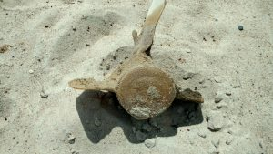 Dug up vertebra of a whale skeleton in Haversham, RI